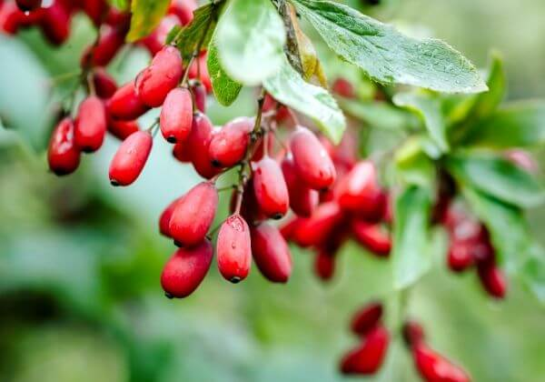 Berberine Bark Extract: How It Works and the Many Benefits