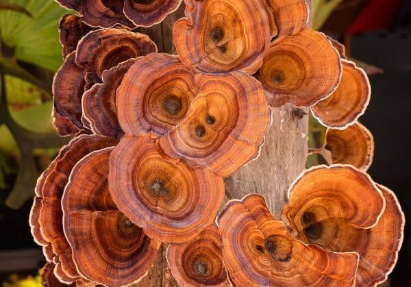 The Many Benefits of Reishi Mushrooms—Heart Health, Longevity, & More