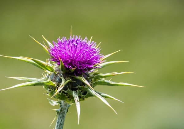 Why Milk Thistle Is Good but Silybin Is Better for Liver Health
