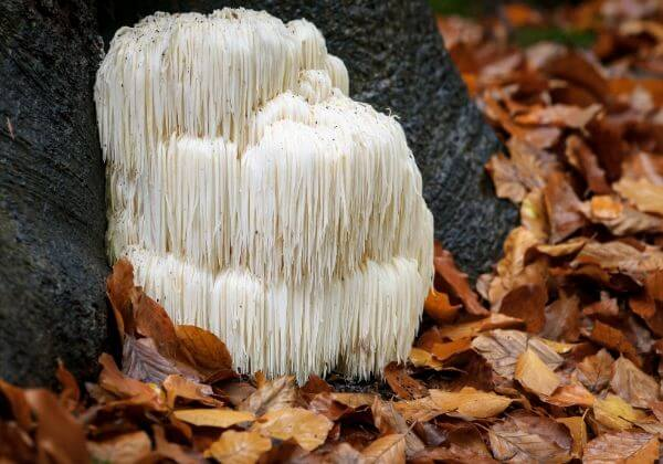 Lion's Mane Mushroom: The Healthiest Fungus You've Never Heard Of