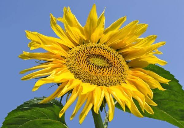 The Health Benefits of Natural Sunflower Lecithin
