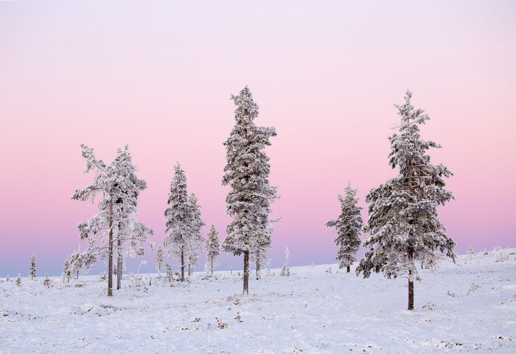 Snow-dusted trees stand against a pink pastel sky | winter in lapland