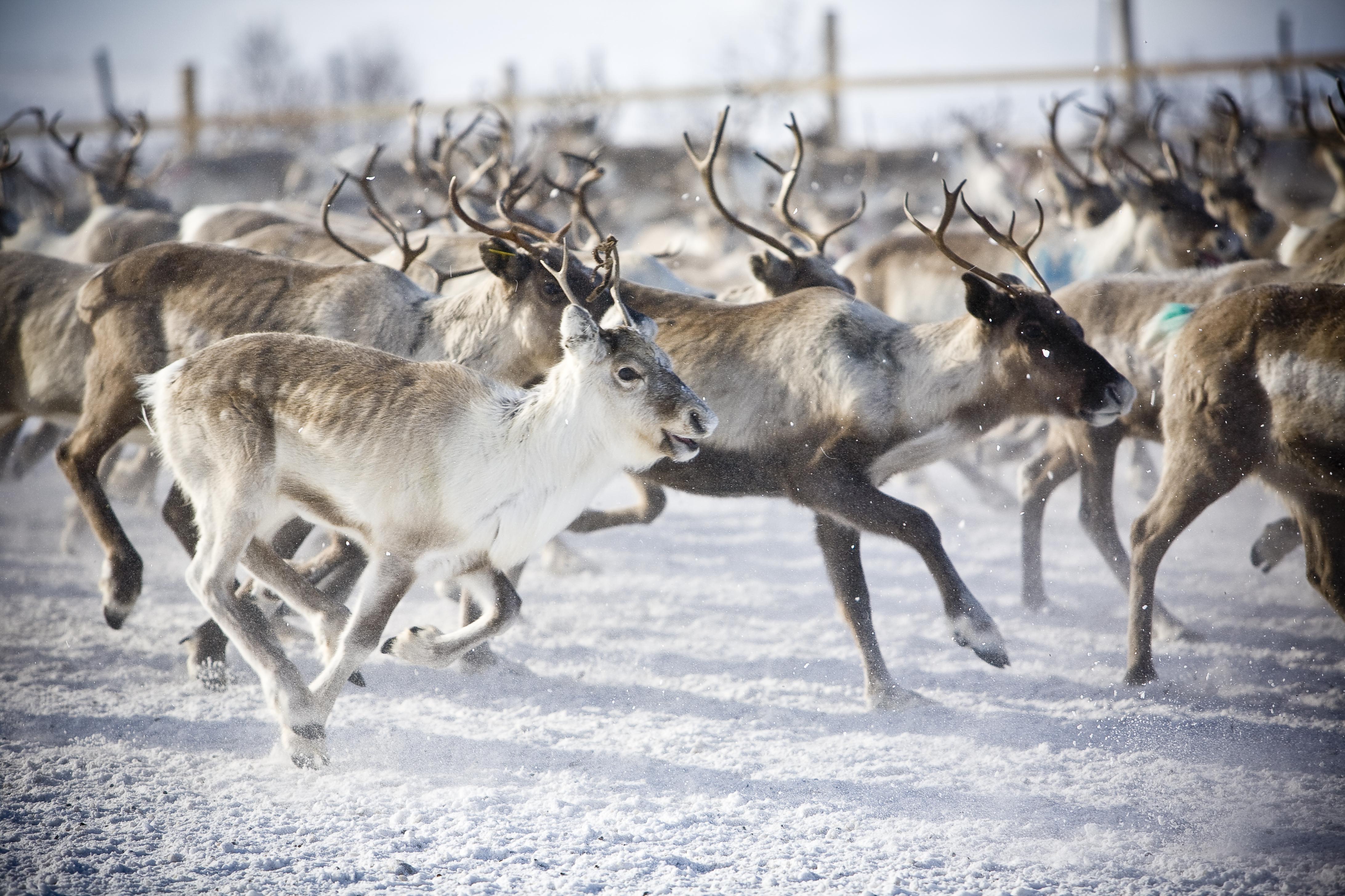 reindeer run across a snowy field filming reindeer
