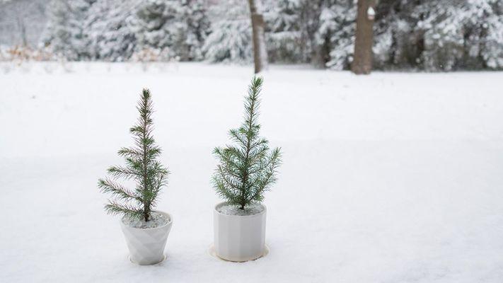 Moss - Baby Spruce Planting Bar