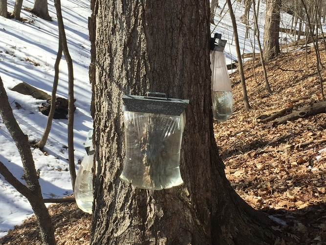 Backyard Maple Syrup Making