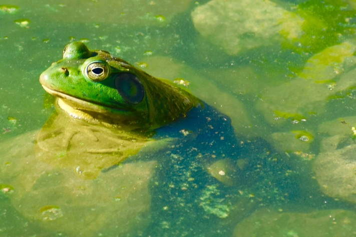 Nature Stroll: The Sounds of Iowa Frogs and Toads