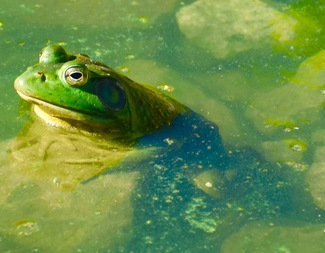 Search green frog