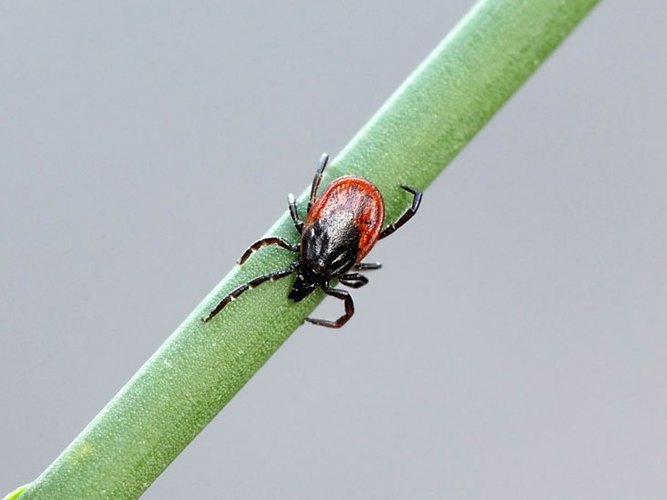 Lyme disease is here in Iowa City...how to identify, treat and reduce your risk of contracting it
