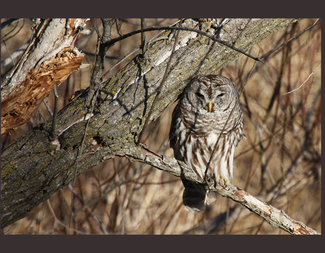 Search barredowl