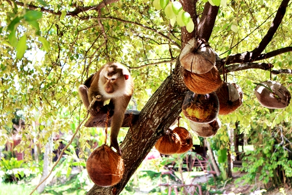 Samui Jungle Safari Tour