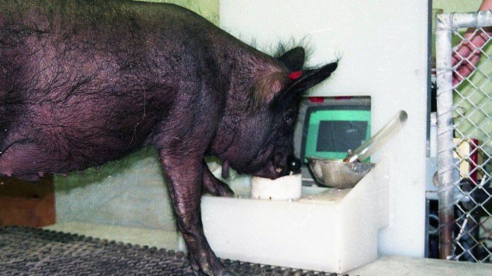 I prasata umí hrát hry, do určité míry