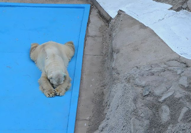 Morreu Arturo, o 'urso polar mais triste do mundo', ao fim de 22 anos de cativeiro em zoo na Argentina