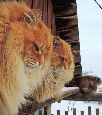 Fazenda siberiana de gatos ultra peludos viraliza com fotografias maravilhosas