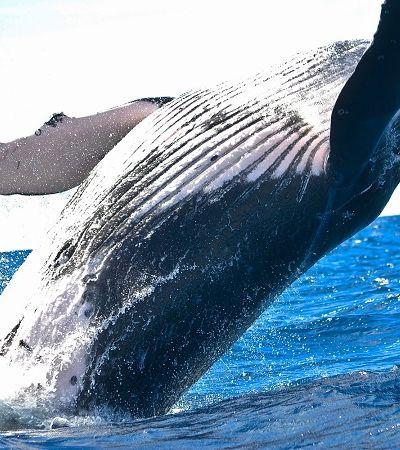 [Vídeo]: baleia-jubarte impede que bióloga seja atacada por tubarão