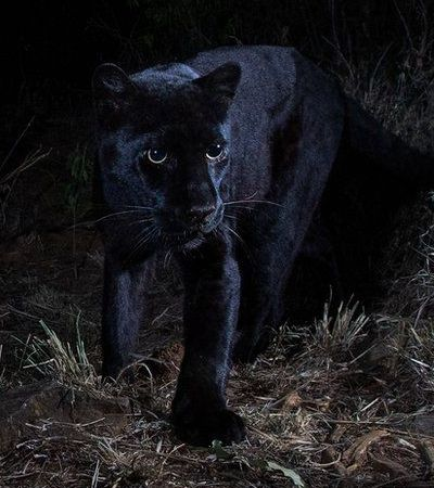 Leopardo negro extremamente raro é fotografado pela primeira vez na África em 100 anos