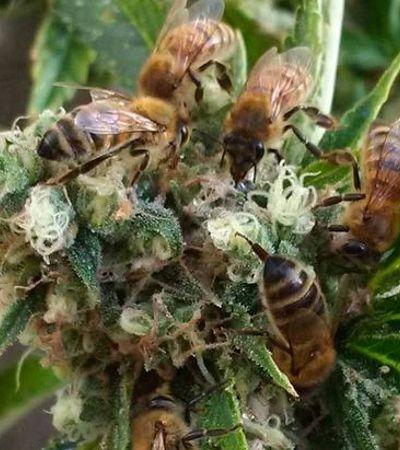 Apicultor 'treina' suas abelhas para fazerem mel com maconha