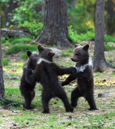 Professor flagra 3 bebês urso dançando numa roda: 'Me senti num conto de fadas'