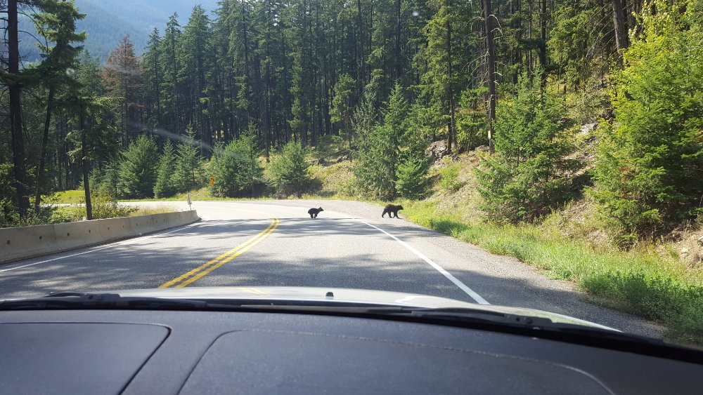 Some local omnivores making their way across the road.
