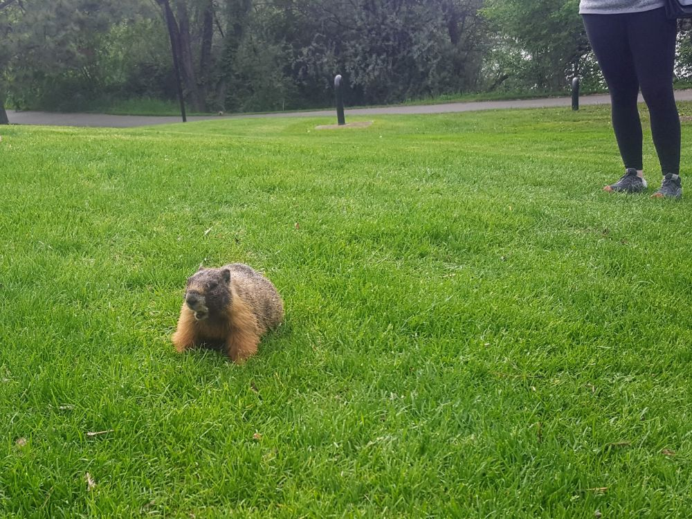 A local marmot munching on some grass by the river in Kamloops. Says he's pretty much vegan.