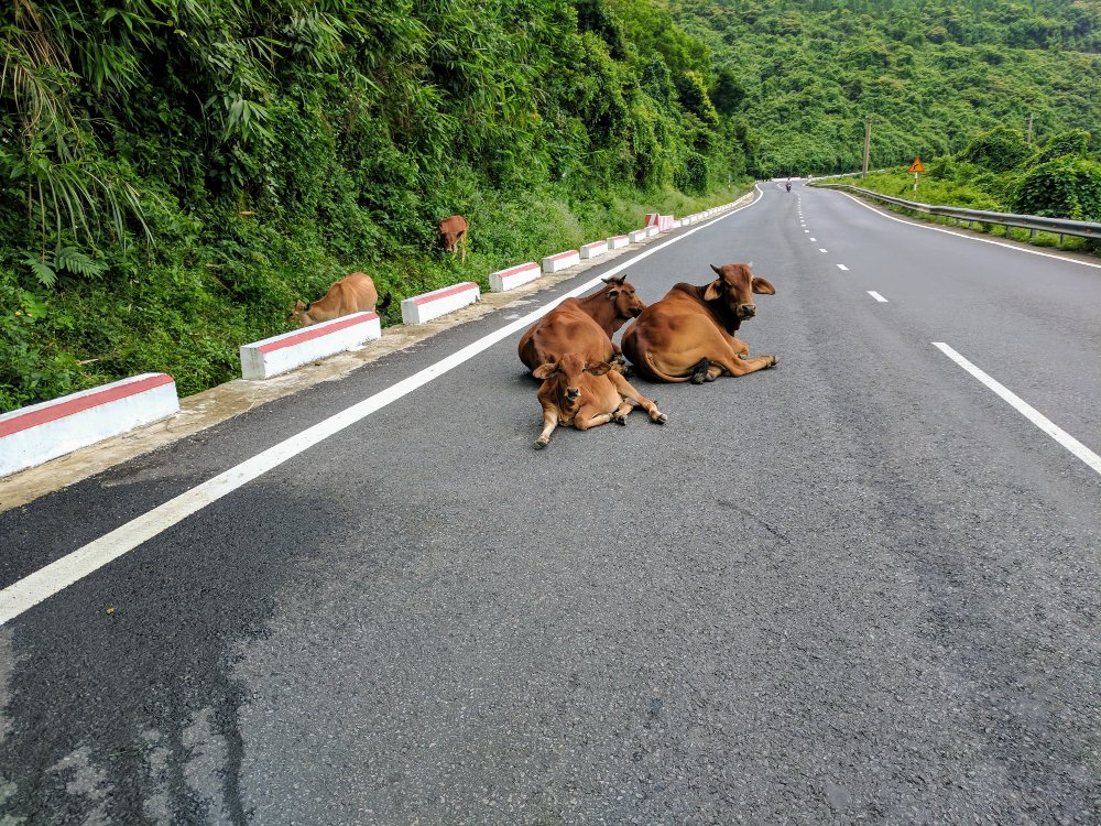 Some local cows just chillin' in the middle of the road, near the scenic Hải Vân Pass in Vietnam.