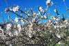 almond tree blossom with sky