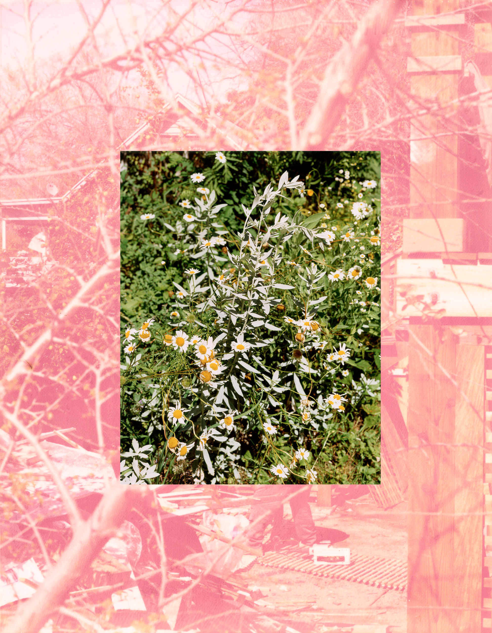 Image of Roe Ethridge, LA Backyard with Sage and Daisies, 2007