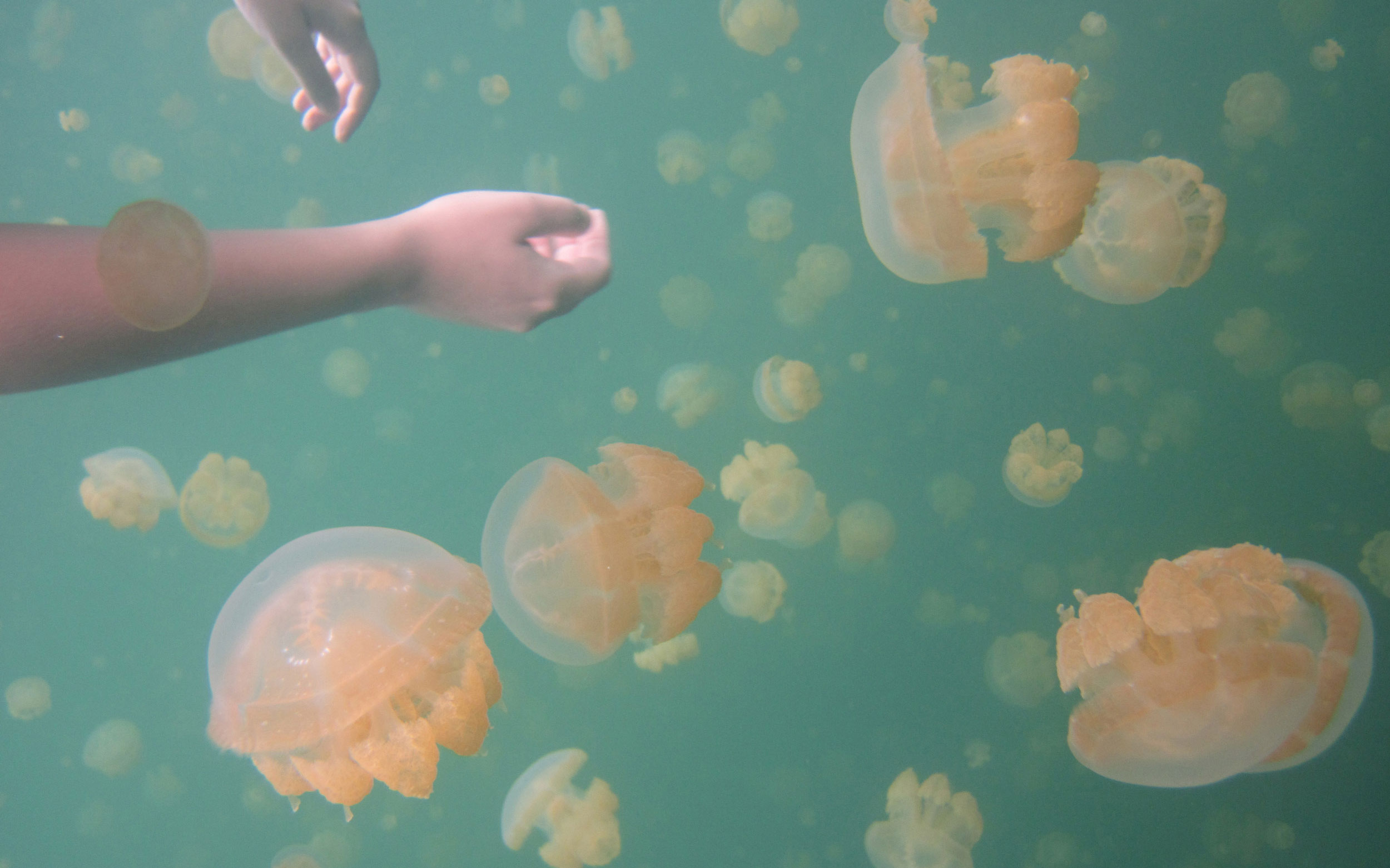 Jellyfish in Palau, whose unique ecosystem may be at risk due to climate change. Photo: anthonioo & Mei-Ling via Flickr Creative Commons.