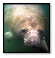The West Indian Manatee