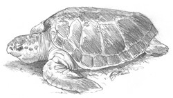 Loggerhead Turtle drawing by Kerry Friesen