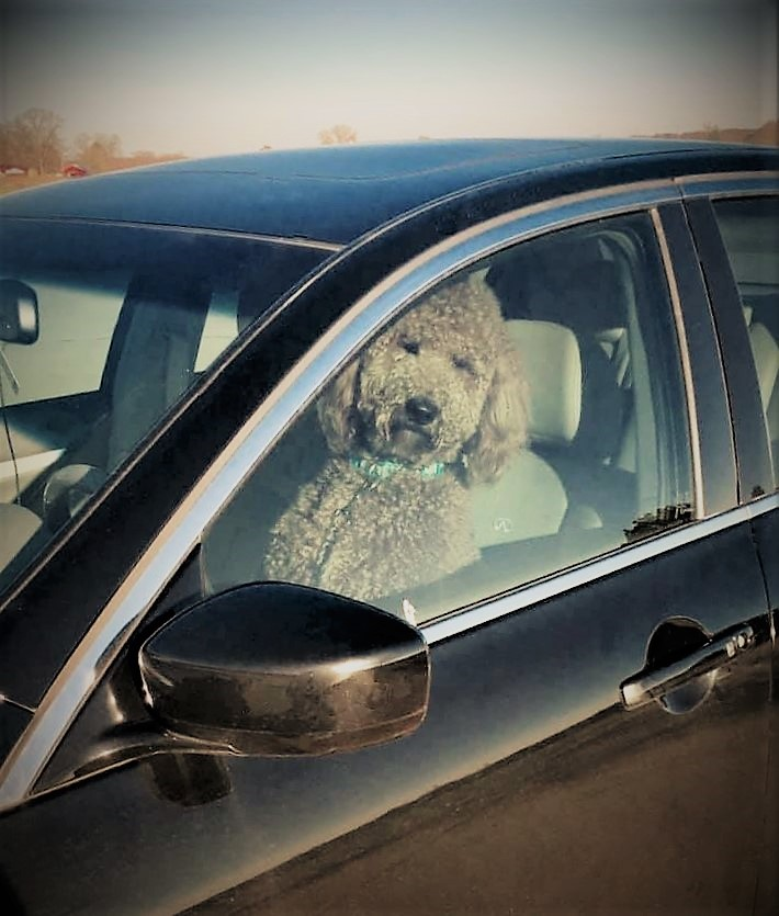driving labradoodle