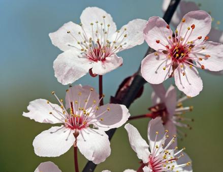 Cherry Blossom Tree Preserve at Jordan Lake