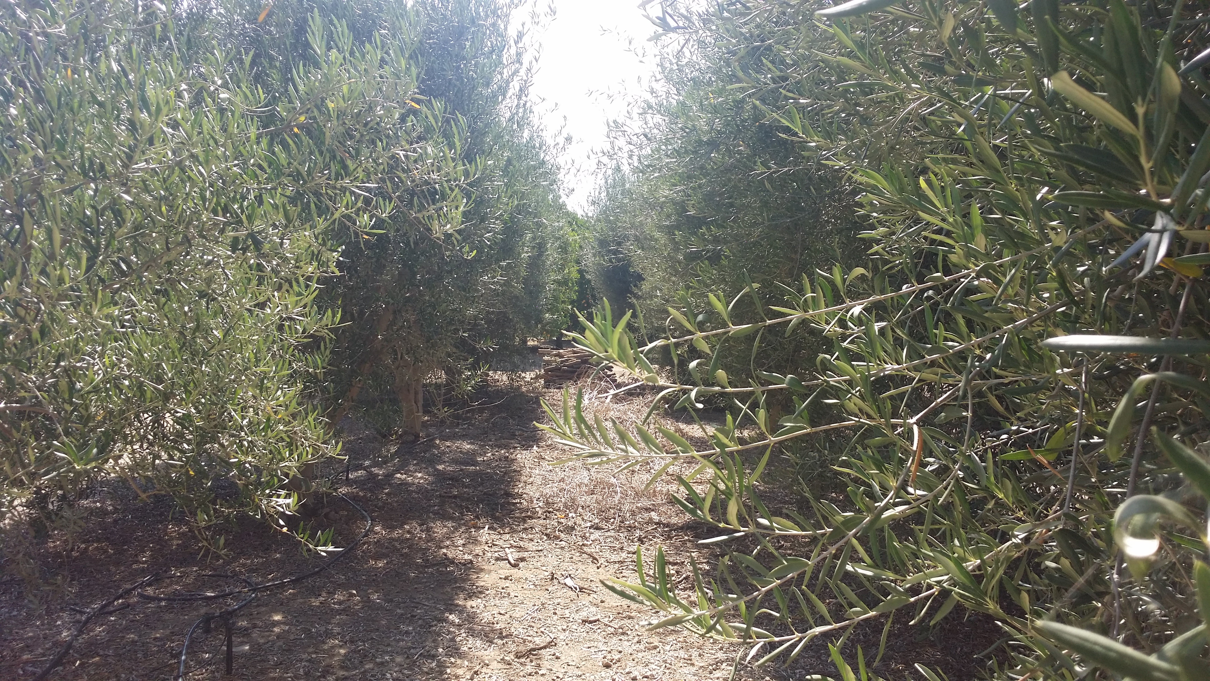 Olive Trees at the Regalo Estate in Ojai CA