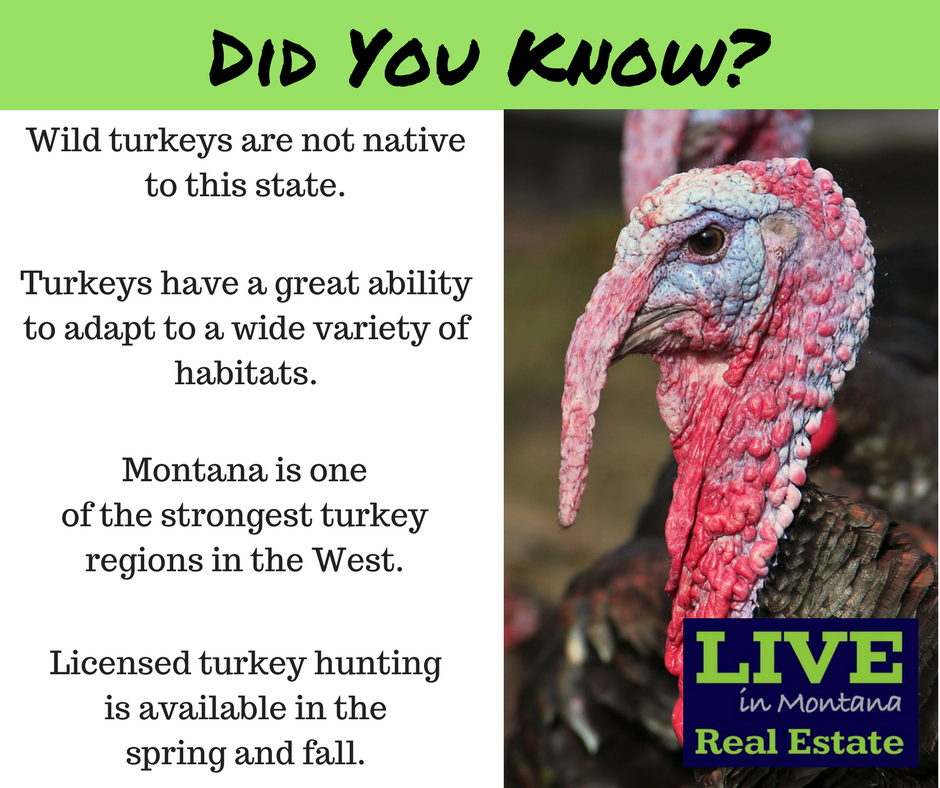 Thanksgiving, Montana Turkeys, Live in MT Real Estate