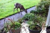 Landscaping-Mistake-Deer