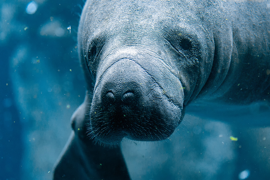 Florida attractions,central Florida attractions, manatees in central Florida