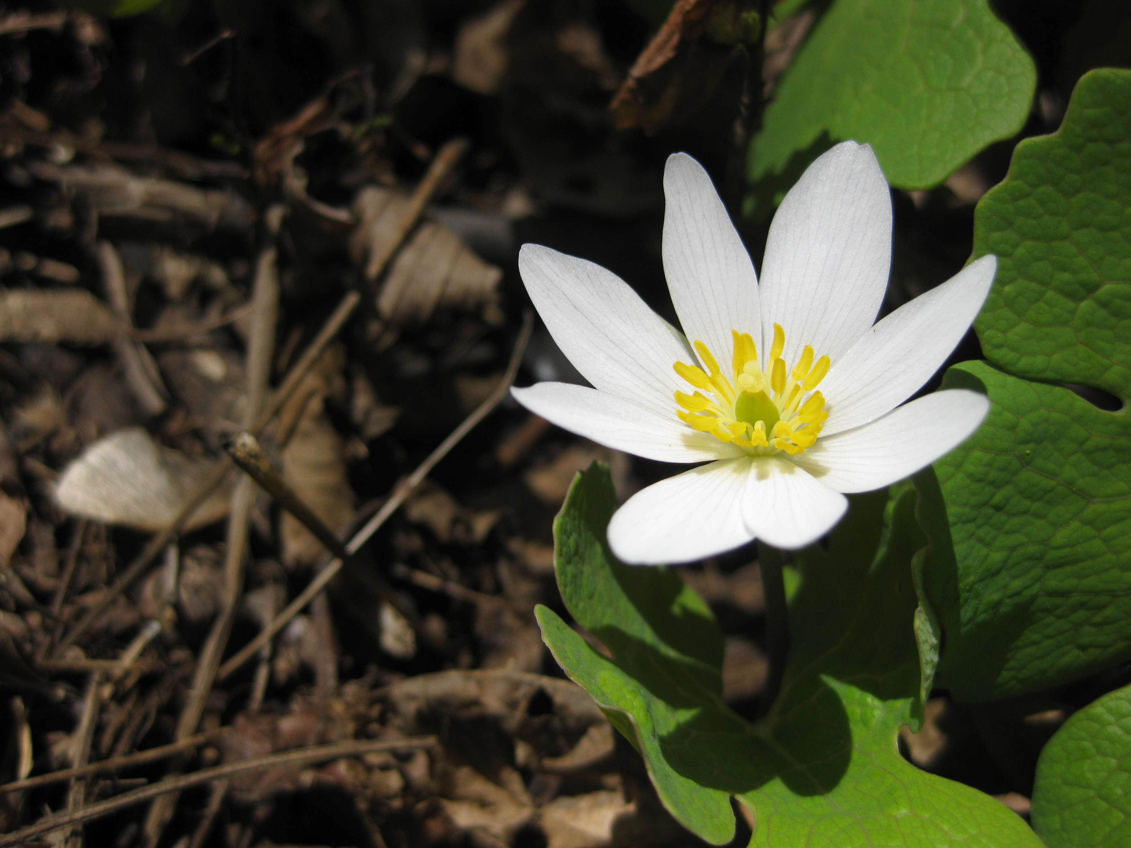 Bloodroot The First Flower Of Spring