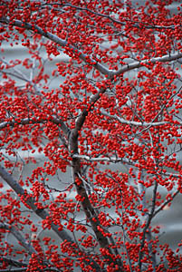 Winterberry Tree ~ Bucks County, Pennsylvania