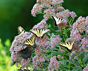 Monarch Butterflies & Lilac ~ Bucks County, PA
