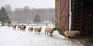 Sheep Coming Home ~ Bucks County, PA