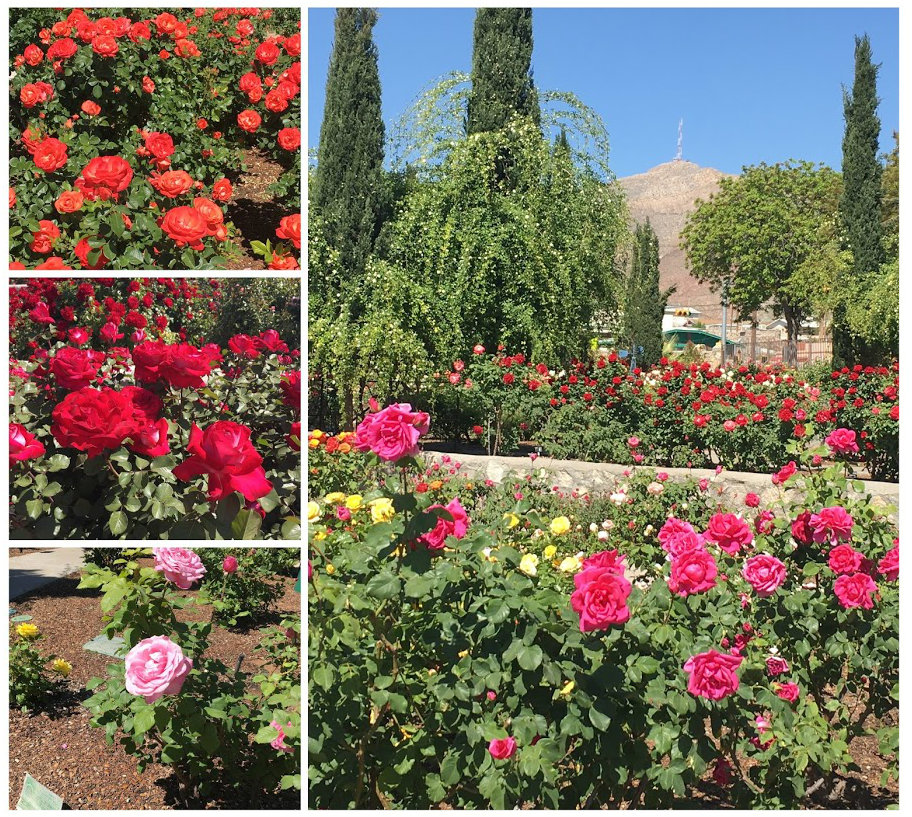 El Paso Rose Garden Collage