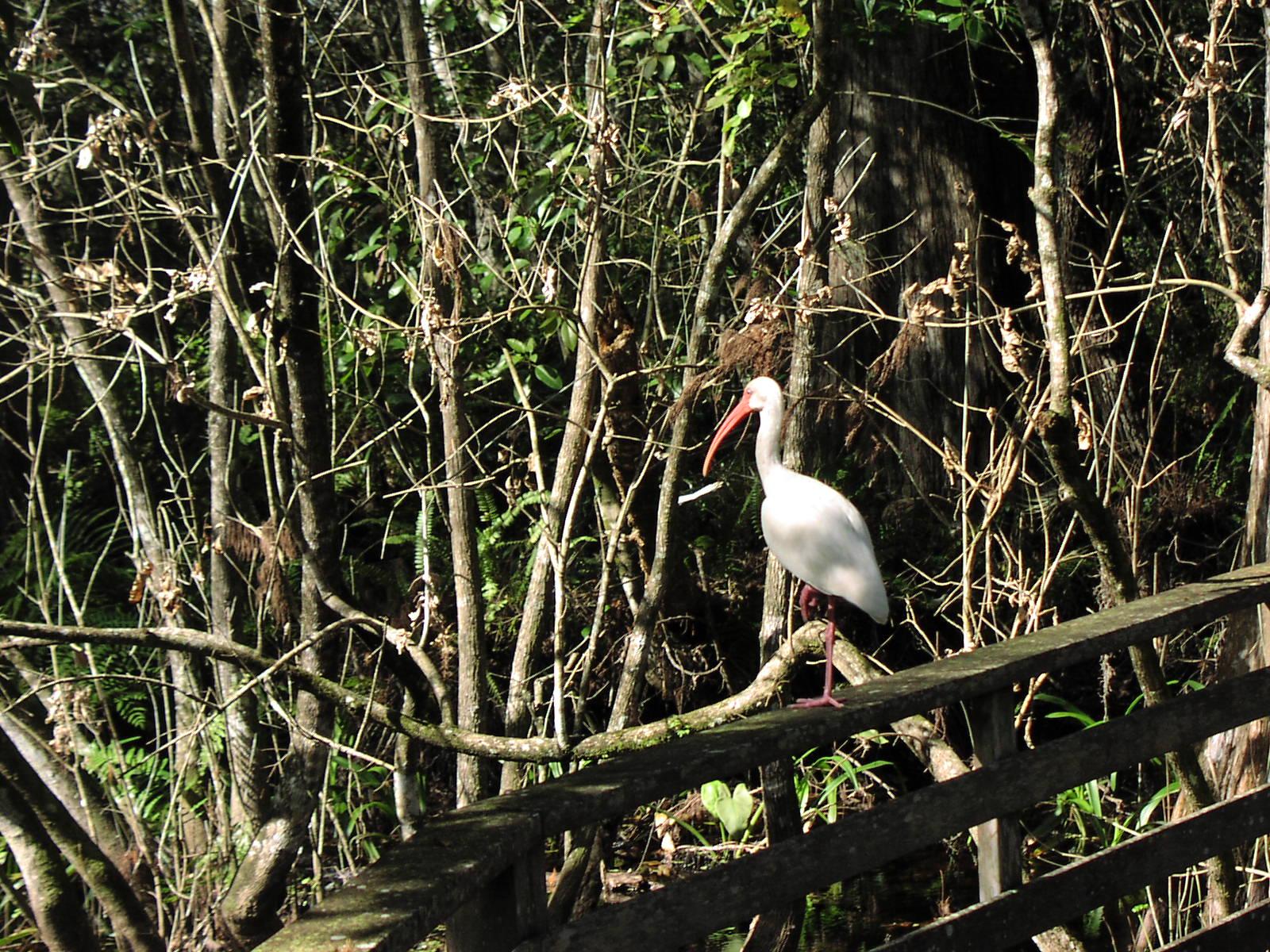 Ibis at Corkscew Swamp Sanctuary Naples FL