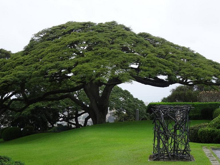 Monkeypod Trees at a Manoa property