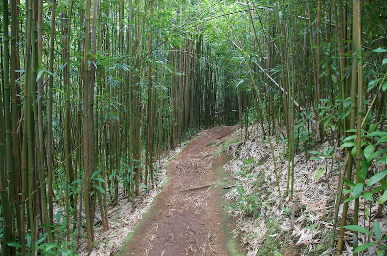 Manoa Falls Trail's Bamboo Forest