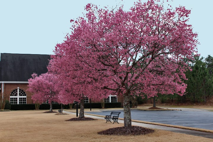 picture of pink flowering tree