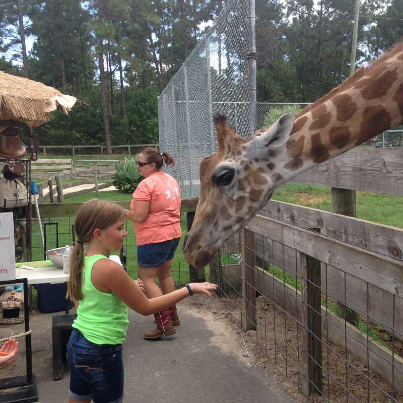 A young girl feeding a giraffe