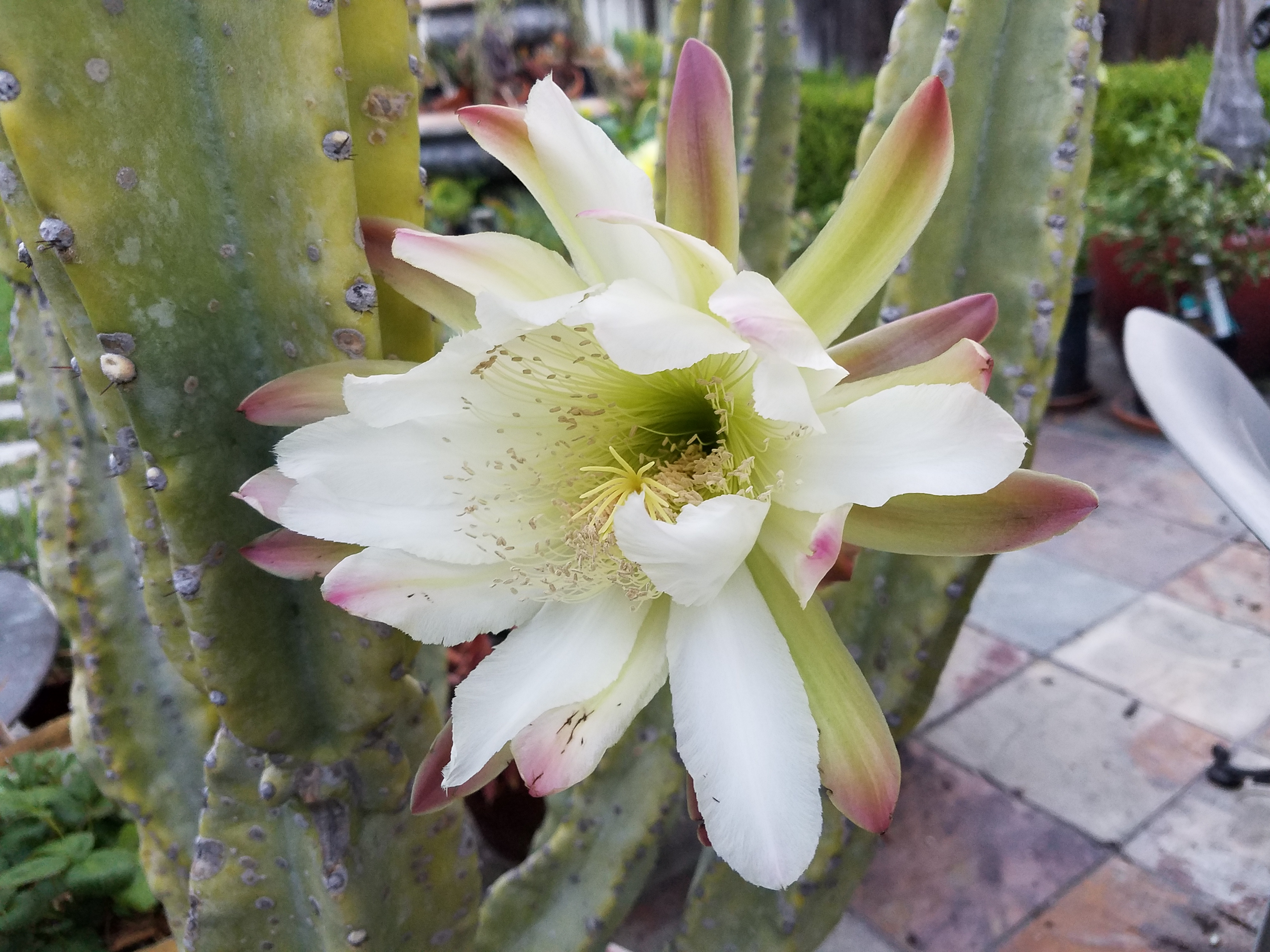 Cereus Blooms for only one day!  James Endo, Broker, 408-560-9021