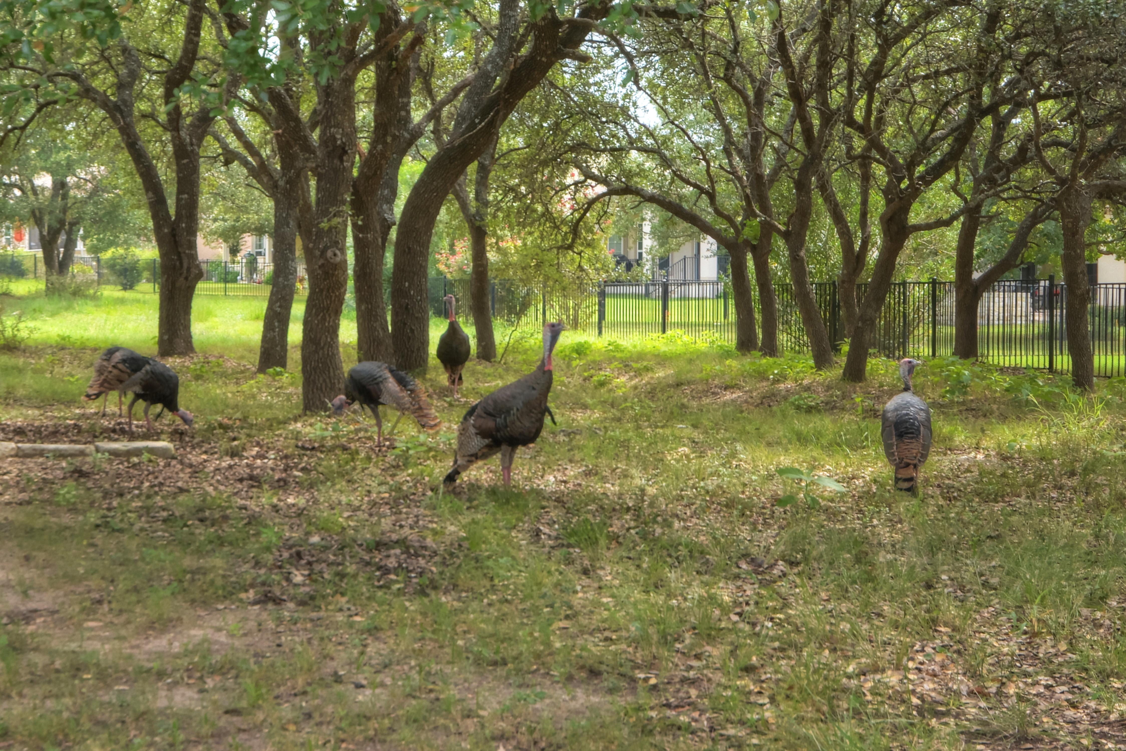 Turkeys are a normal sight in Sun City