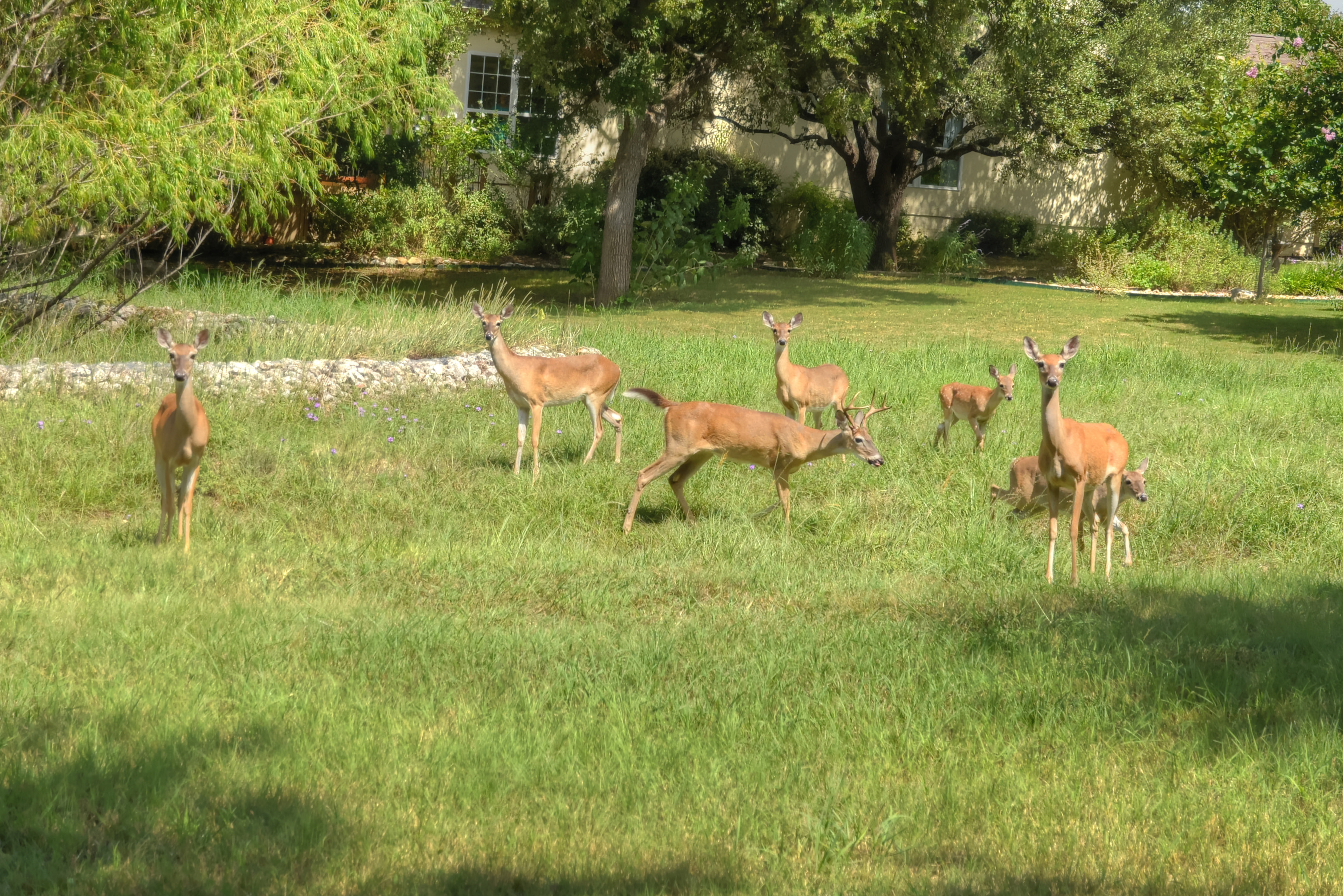 Lots of Deer roam the wild areas of Sun City