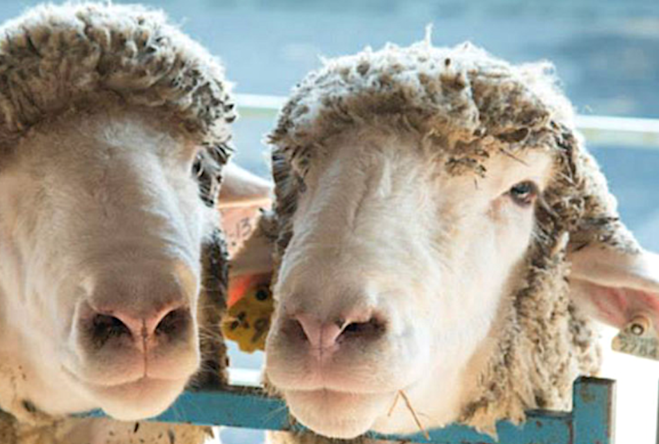 Upstate New York The Dutchess County Fairgrounds Sheep and Wool Festival Rhinebeck, NY