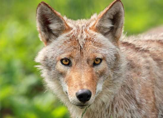 Coyotes Run Wild in Playa and Westchester CA